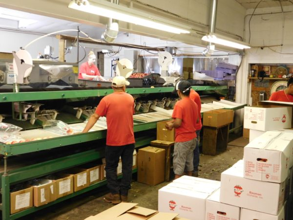 Bauman Orchards - Apple Packing